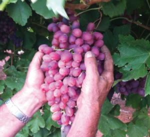sergi_grapes